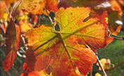 Beautiful pictures of fall vines and leaves at Tanis.