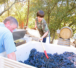 Grape Harvest in Amador County CA at Tanis Vineyards Winery.