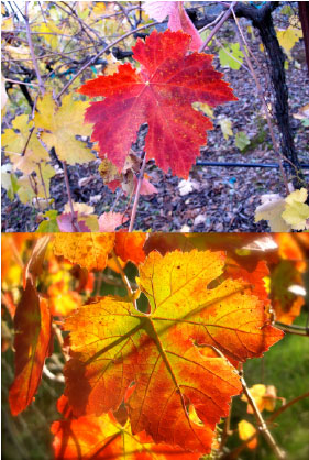 Vines in Autumn at Tanis Winery