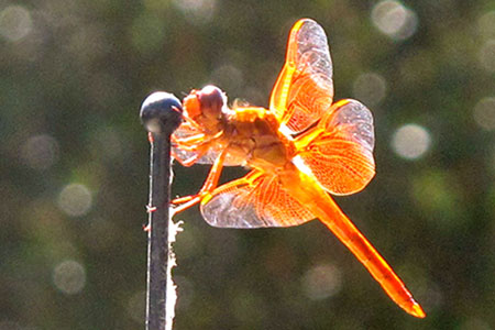 Brilliantly colored dragonfly.